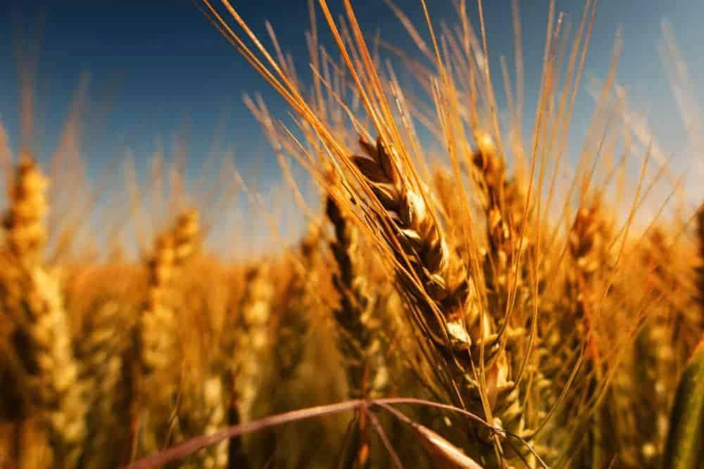 Ist Getreide gesund? Gersten-Ähren in der Sonne