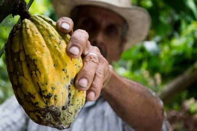 Kakao Frucht bei der Ernte mit gebräuntem Mann im Hintergrund