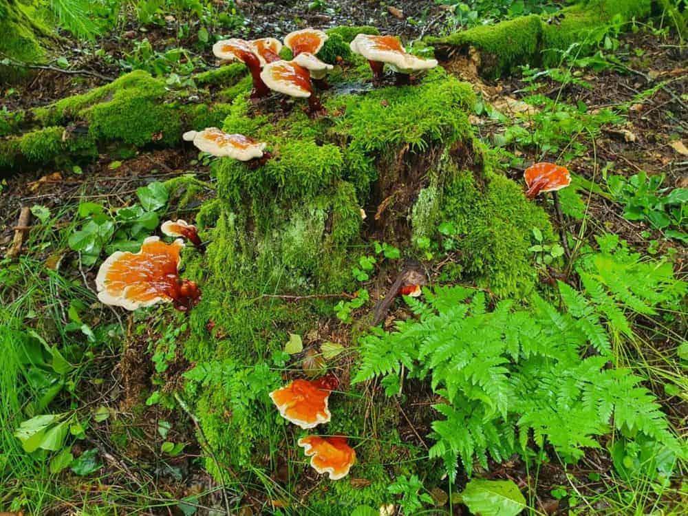 Reishi Bayerischer Wald (9)