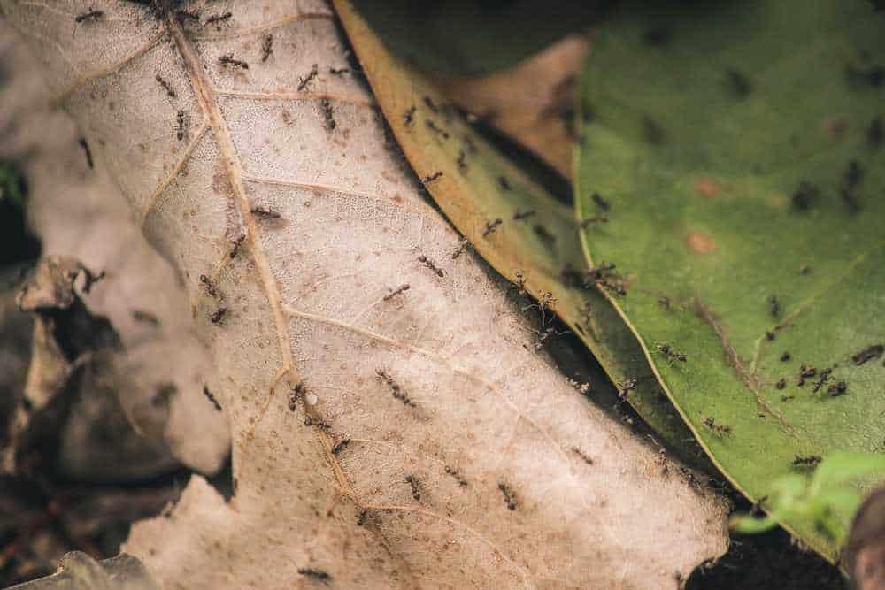 Ameisen auf Blättern